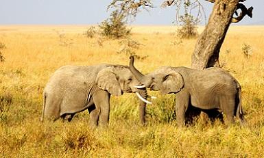 elephant_kenya_safari