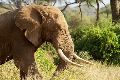 Closeup of male African elephant in Amboseli National park