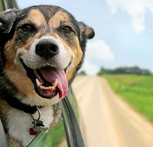 dog hanging tongue out of mouth with ears blowing in the wind as he sticks his head out a moving car