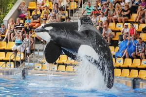 PUERTO DE LA CRUZ, TENERIFE - JULY 4: New Orca Ocean exhibit has helped the Loro Parque become Tenerife's most popular man made attraction on July 4 2012 in Puerto De La Cruz, Tenerife.