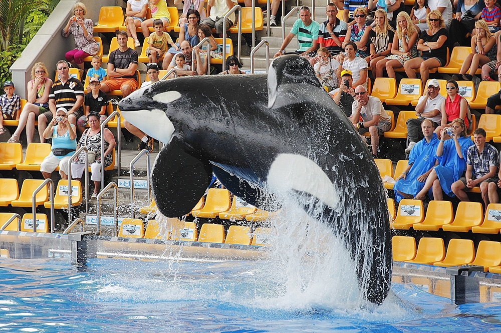 PUERTO DE LA CRUZ, TENERIFE - JULY 4: New Orca Ocean exhibit has helped the Loro Parque become Tenerife's  most popular man made  attraction on July 4 2012 in Puerto De La Cruz, Tenerife.