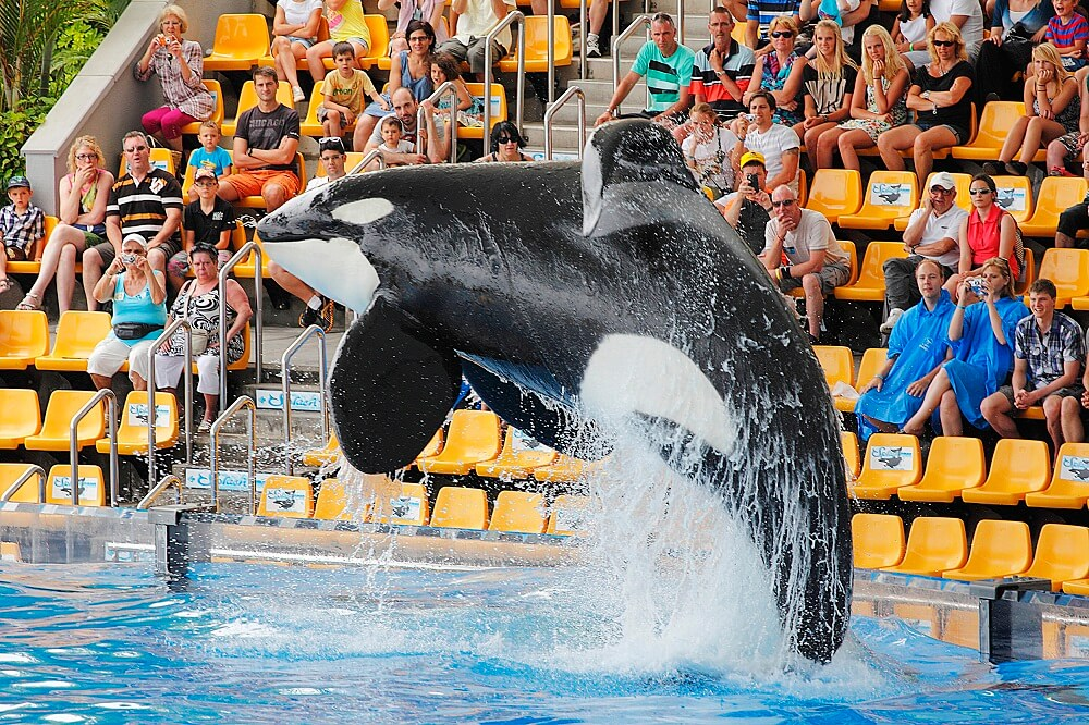Killer whale jumping in tank in front of audience